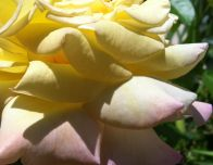 Yellow Peach Rose
